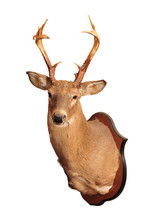 Deer Head Taxidermy Mounted On...