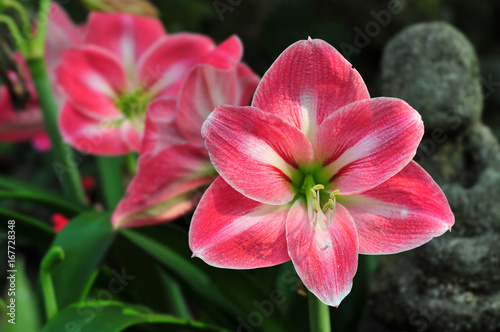 Red Amaryllis flowers in a garden Wallpaper Mural