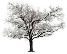 Dormant Tree Without Leaves Isolated In White Background