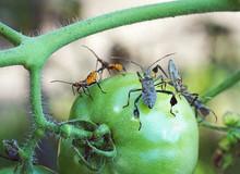 Leaf Footed Bug And Orange Nym...