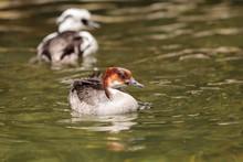 Female Red Headed Smew Duck Ca...