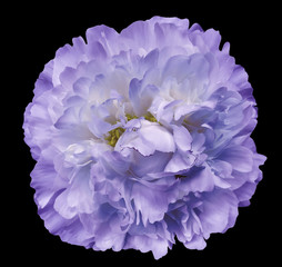 Panel Szklany Peonie Peony flower purple on the black isolated background with clipping path. Nature. Closeup no shadows. Garden flower.