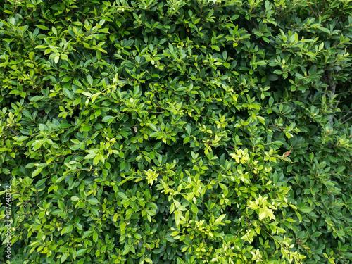 green bush texture Canvas Print