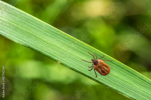 Tick filled with blood crawling on leaf of grass