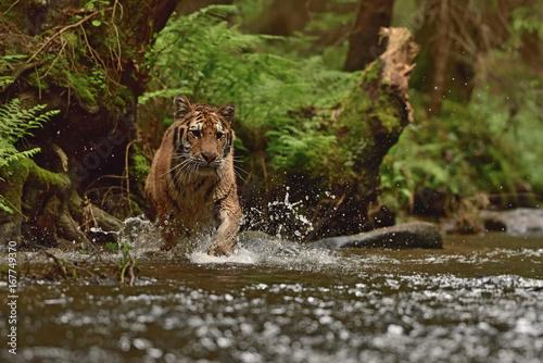 Foto op Aluminium Tijger Running Siberian tiger (Amur tiger - Panthera tigris altaica) in his natural environment in the river in beautiful country