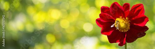 Dahlie  -  Rote Blüte mit Biene