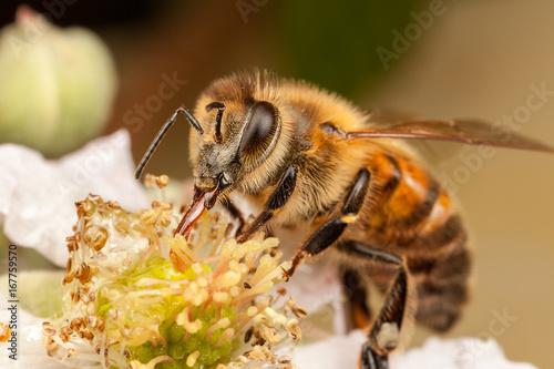 Photo European Honey Bee, Apis mellifera