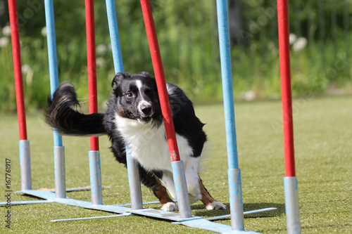 Photo Dog Border Collie on the route of agility trials
