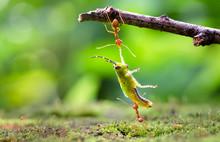 Ants Dragging Victim