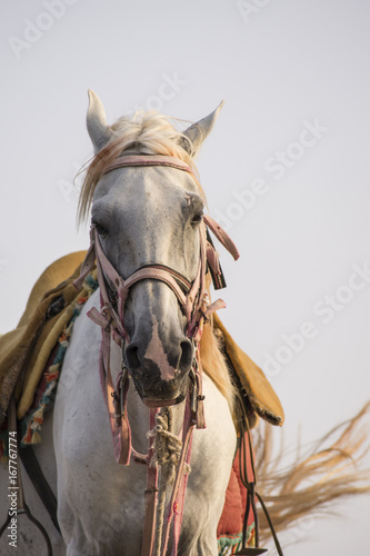 Photo  Cavallo arabo