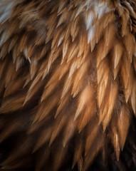 closeup texture of bald eagle feathers