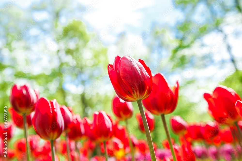 Fototapety, obrazy:  Amazing view of colorful  tulips in the garden.