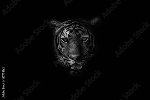 Keuken foto achterwand Tijger Black & White Beautiful tiger on black background