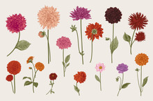 Dahlias Set. Botanical Vector ...