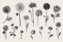 Dahlias Set. Botanical Vector ...