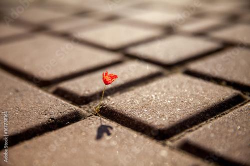 Small red poppy flower growing on tile, asphalt, road Poster