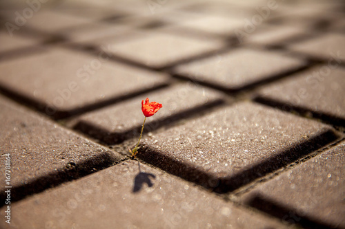 Photo  Small red poppy flower growing on tile, asphalt, road