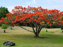 An Orange Flamboyant Tree (delonix Regia) In Bloom In The Caribbean