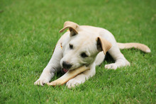 Labrador Puppy Eating Big Bone