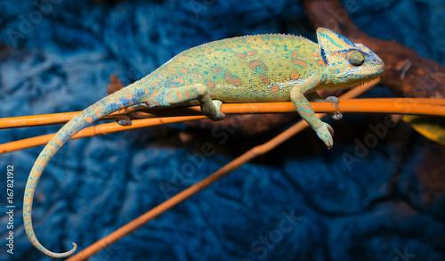 Foto auf Leinwand Chamaleon Kameleon Jemeński