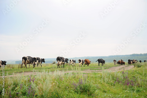 Tuinposter Koe Cows go on the road through field