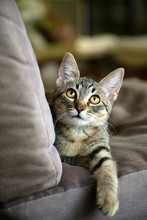 Adorable Tabby Kitten With Amber Eyes Looking Upward