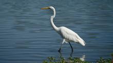 Great Egret Walking In Lake