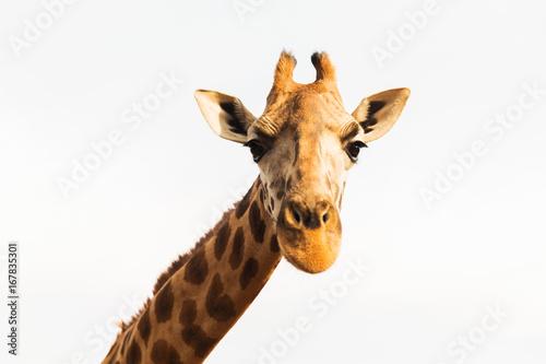 giraffe in africa Canvas Print