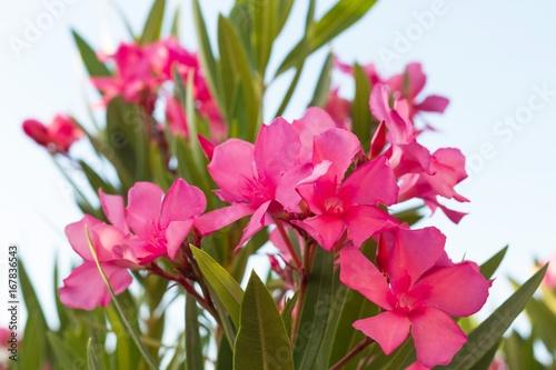 Plakat Różowe azalie kwitną z nieba tłem