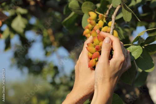 Woman holding bunch of almond tree close up Poster Mural XXL