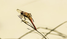Closeup Of Flame Skimmer Drago...
