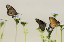 Three Queen Butterflies Perche...