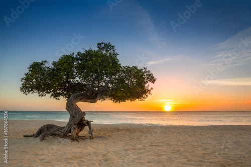 фотография Divi Divi tree on Eagle Beach