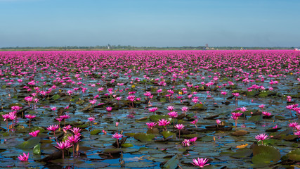 Obraz na PlexiAmazing and Scenery lake of pink waterlily in Thailand