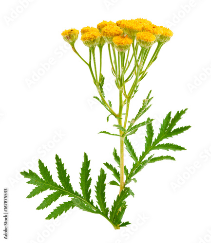 Photo  tansy isolated on a white background. Medical herb