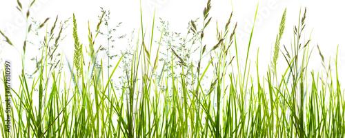 gräser, grashalme, wiese vor weißem hintergrund - 167880997