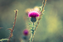 A Pink Milk Thistle Flower In ...