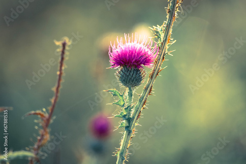 Obraz na plátně A pink milk thistle flower in the early morning light
