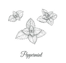 Peppermint Set. Collection Of Peppermint Vector Illustration. Peppermint Skech