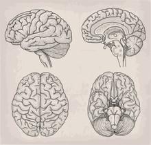 Anatomical Brain Human Illustration. Medicine, Vector Illustration Poster. Anatomical High Detailed. Medical Study Front Back Top View Side Sign Info Graphics Banner