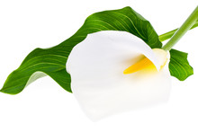 Blooming White Calla With Green Leaves On Light Background