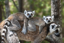 Ring Tailed Lemur Carried On M...