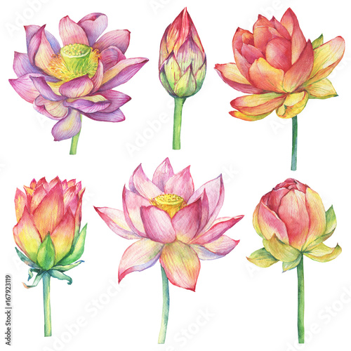 Set With Pink Flowers And Buds Lotus Water Lily Indian Lotus