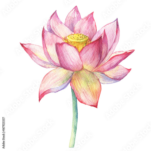Pink Flowers Lotus Water Lily Indian Lotus Sacred Lotus Egyptian