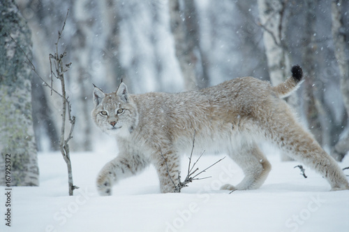 European lynx (Lynx lynx) walking in birch forest in snow, Central Norway.