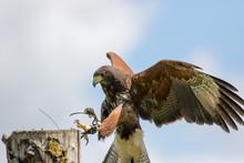 Haris's Hawk Bird Of Prey Landing At Country Fair Falconry Display
