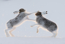 Mountain Hares Fighting On Snowy Landscape