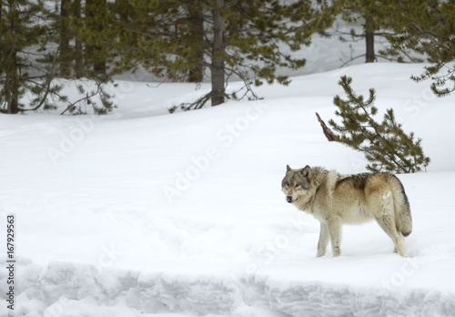 Wolf (Canis lupus) walking in snow. Yellowstone National Park, USA. February
