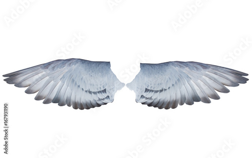 two wing feather of homing  pigeon bird isolated white background