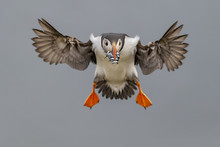 Atlantic Puffin Flying With Sa...